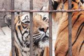 Captivity animal — Stock Photo