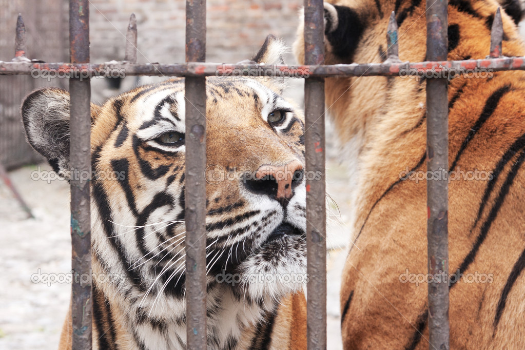 Portrait of captivity animal, tiger in cage. — Stock Photo #8508157