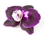 Orchid flower — Stockfoto