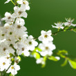 Blooming white flowers — Stock Photo
