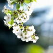 White flowers on the dark background — Stock Photo #10442416