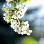 White flowers on the dark background — Stock Photo