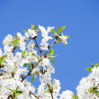 White flowers on the blue sky sky skywhite flowers on the blu - Stock Photo