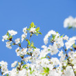 White flowers on the blue sky — Stock Photo