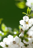 White flowers on the green background — Stock Photo