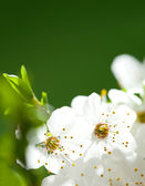 Macro - white flowers on the green background — Stock Photo