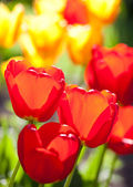 The tulips and spring — Stock Photo