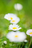 Field of daisyes — Stock Photo