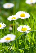 The daisyes in grass. — Stock Photo