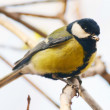 Great tit — Stock Photo
