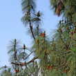 Stock Photo: Pine branch with cones
