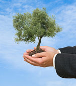 Olive tree in hands — Stock Photo
