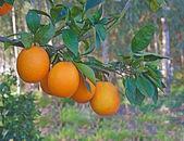 Oranges on branch — Stock Photo