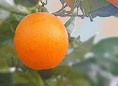 Orange on tree — Stock Photo