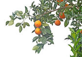 A branch with ripe oranges — Stock Photo