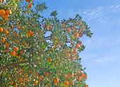 Sinaasappelen op tak — Stockfoto