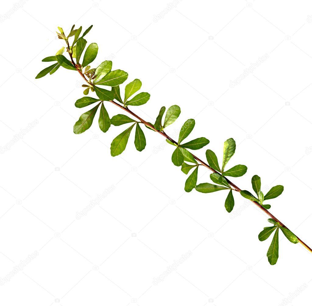 孤立在白色背景上的树苗– 图库图片