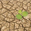 Stock Photo: Sapling growing from arid land