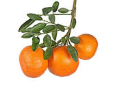 Tangerines on branch — Stock Photo