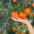 Woman holding ripe tangerine — Stock Photo #9401027
