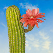 Cactus with red flowers — Stock Photo