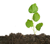 Tree seedling growing from soil — Stock Photo