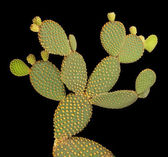 Opuntia cactus isolated on black background — Foto Stock