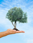 Olive tree in palm as a symbol of nature protection — Stock Photo