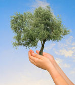 Olive tree in hands as a symbol of nature protection — Stock Photo