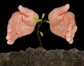 Avocado seedling protected by hands — Stock Photo