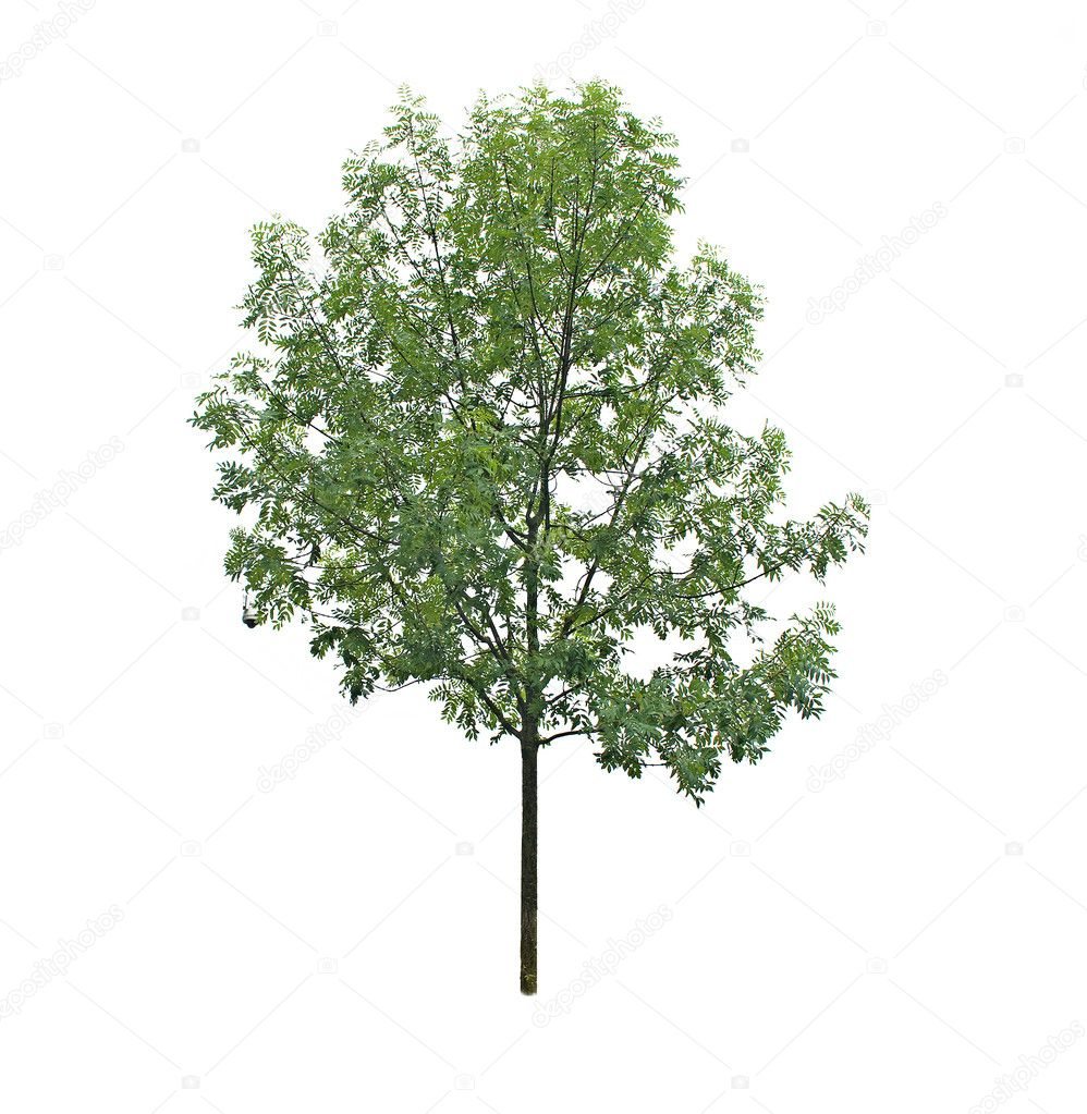 Tree isolated on white background — Stock Photo #9655830