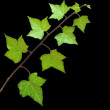 Ivy isolated on black background — Stock Photo