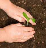 Planting seedling — Stock Photo