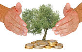 Olive tree protected by hands — Stock Photo