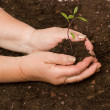 Stock Photo: Avocado seedling