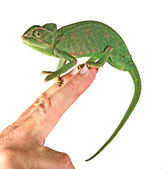 Close up of chameleon sitting on fingers — Stock Photo