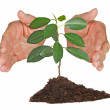 Sapling protected by hands — Stock Photo #9695571