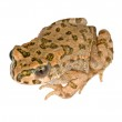 Toad isolated on white background — Stock Photo