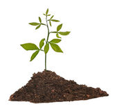 Seedling growing from soil — Stock Photo