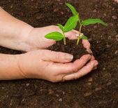 Planting seedlings — Stock Photo
