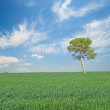 Tree at Field — Stock Photo