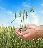 Wheat as a gift of agriculture — Stock Photo