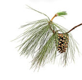 Pine branch with cone isolated on white background — Stock Photo