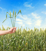 Farmer with wheat as a gift of agriculture — Stock Photo