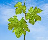 Close up of vine — Stock Photo