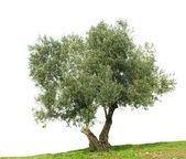 Olive tree isolated on white background — Stock Photo