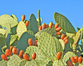Opuntia with ripe fruits — Stock Photo