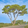 Pine tree — Stock Photo #9720715