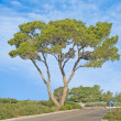 Stock Photo: Pine tree