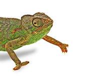 Chameleon isolated on white background — Stock Photo